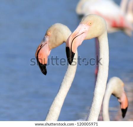 Close up of white flamingo head - stock photo