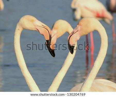 Close up of white flamingo heads - stock photo
