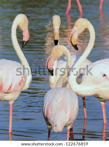 Close up of white flamingos in the water by sunset - stock photo