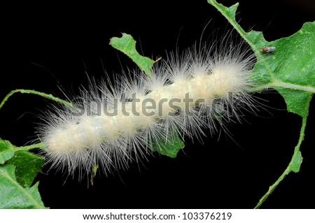 Close-up of white fuzzy Laugher caterpillar (Charadra deridens) - stock photo