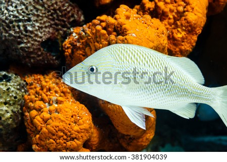 Close up of white grunt fish, haemulon plumierii, and coral