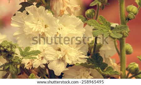 Close up of white hollyhock spring celebrity blossom in flower garden - Vintage effect style pictures - stock photo