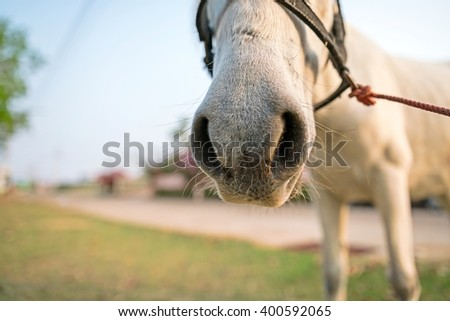 Close up of White horse Nose ; White horse standing in a field - stock photo