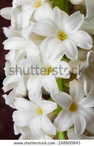 Close up  of white hyacinths in full bloom. - stock photo