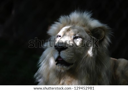 Close up of White Lion Head in sun and shade - stock photo