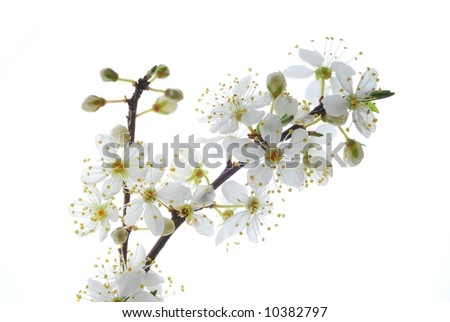 Close-up of white mirabelle flower against white background