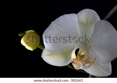 close up of white orchids and pimple  (Phalaenopsis) on a black background