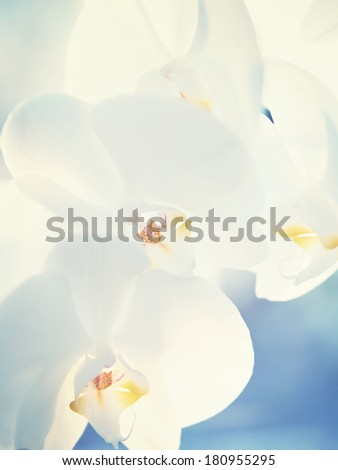Close-up of white orchids on blue background. Toned image. - stock photo