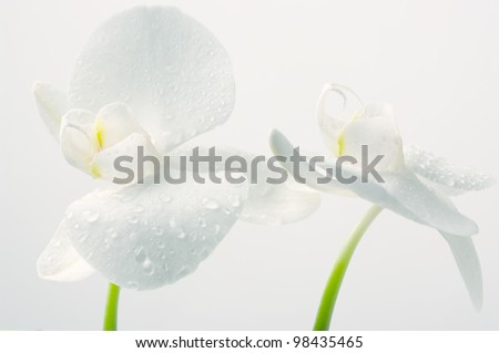 Close-up of white orchids with water drops on light background. - stock photo