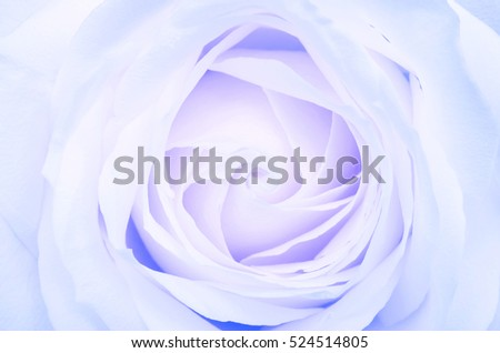 Close up of White rose flower background