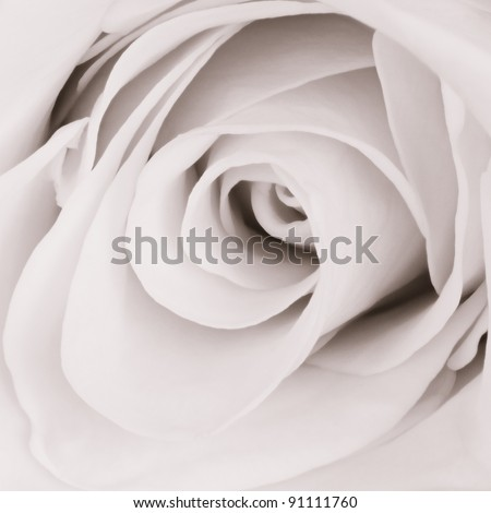 close up of white rose petals - stock photo