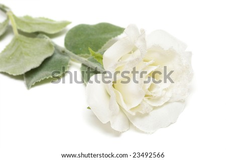 close-up of white snow-bound rose