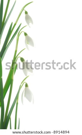 Close-up of white snowdrops against white background