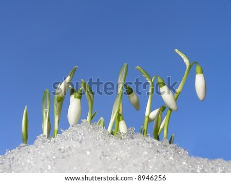 Close-up of white snowdrops in snow against clear blue sky - stock photo