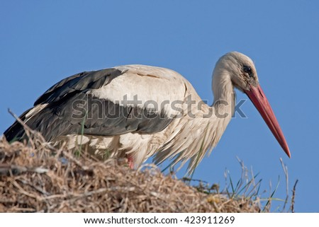 Close-up of White stork (Ciconia ciconia) - stock photo