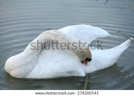 Close up of white swan
