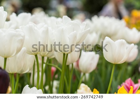 Close up of White tulips in the spring garden. Shallow DOF. - stock photo