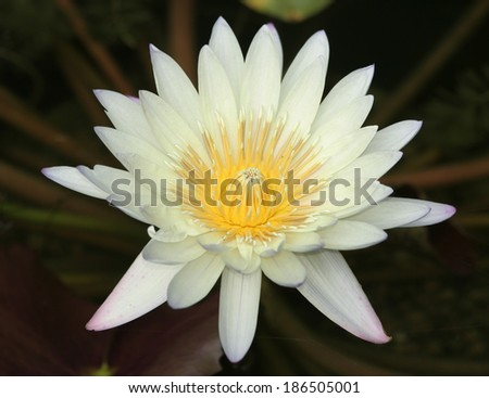 Close up of White Waterlily