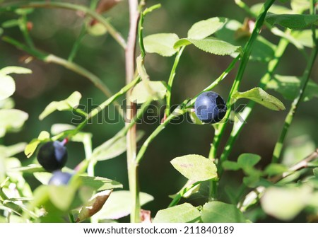 Close up of wild blueberries on the branch in the forest, selective focus, place for text - stock photo