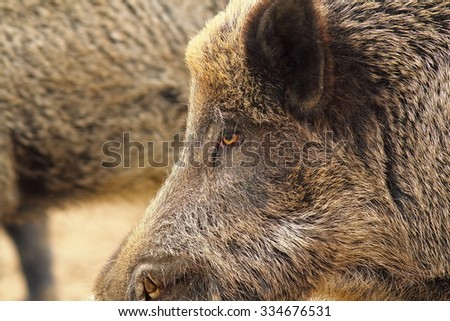 close up of wild boar head ( Sus scrofa ) - stock photo
