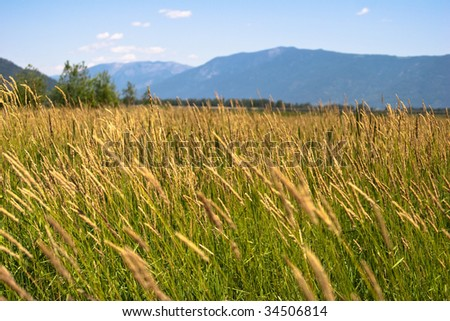 Close-up of wild grass with blue mountains in background - stock photo