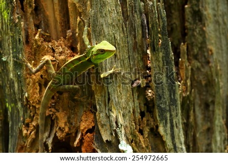 Close-up of wild lizard on old bark in Thailand - stock photo