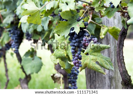 Close up of wine grapes ready for harvest - stock photo