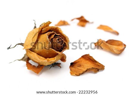 Close up of withered rose and petal over white background. - stock photo