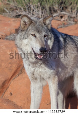 Close up of wolf looking to the right and standing on red sandstone in early morning sun with desert plants in the background