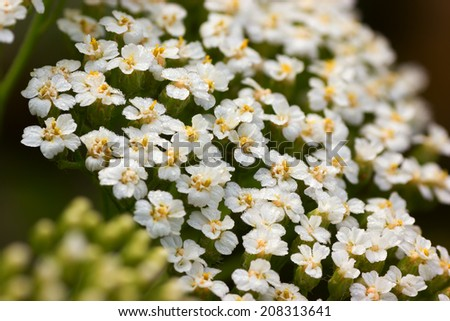 Close-up of yarrow flowers - stock photo