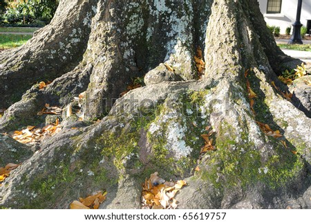 close up of 200 Year old Tree Roots - stock photo