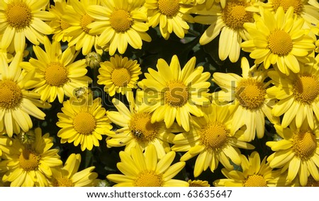 Close up of yellow chrysanthemums with a ladybug on one - stock photo
