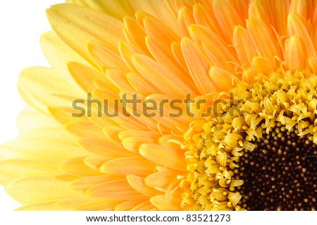 Close up of yellow daisy-gerbera isolated on white. - stock photo