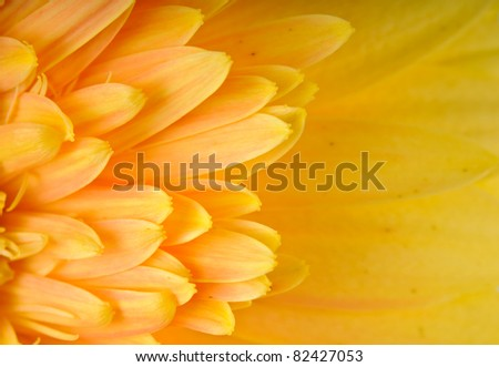 Close up of yellow daisy-gerbera's petal with copy space. - stock photo