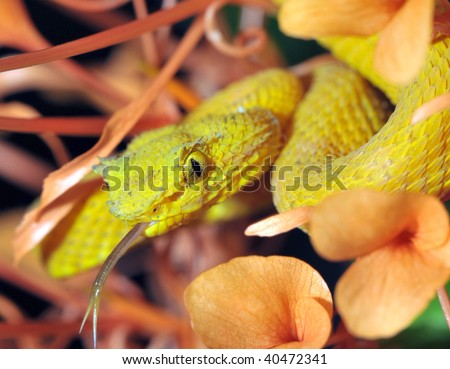 close up of yellow eyelash pit viper in plant, cahuita, costa rica, latin america, deadly snake