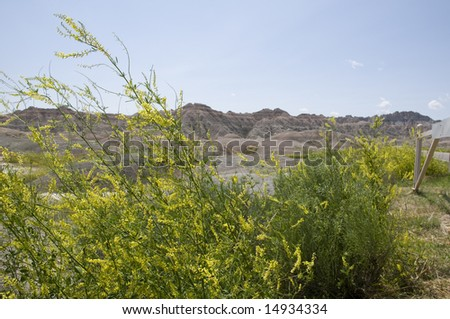 Close up of Yellow Flowers in Badlands National Park, South Dakota