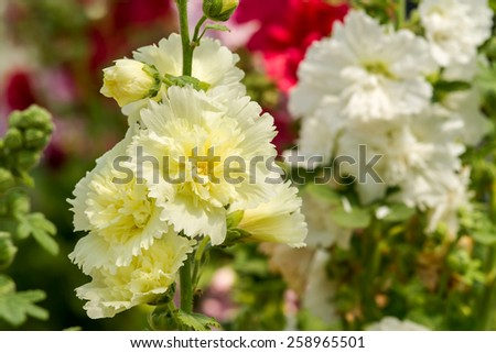 Close up of yellow hollyhock spring celebrity blossom in flower garden - stock photo