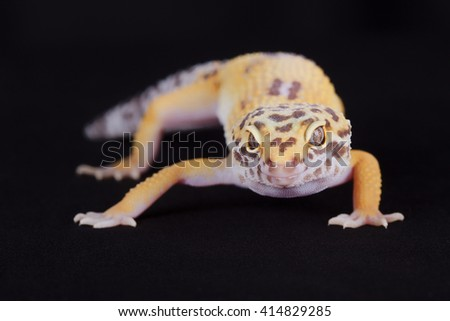 Close-up of yellow leopard gecko on black background - stock photo