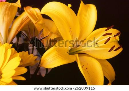 Close up of yellow Lily blossom (Lilium longiflorum) - stock photo