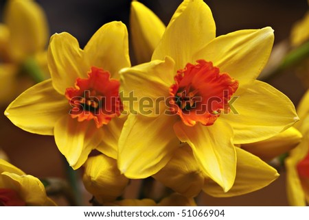 close up of yellow narcissus, abstract colors