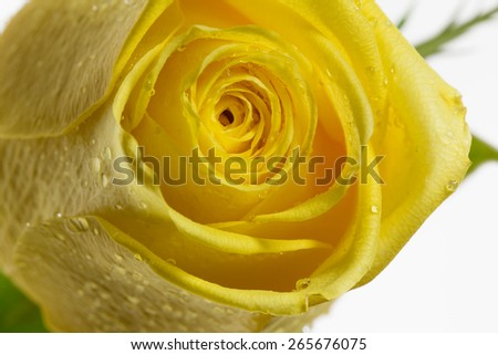 Close up of yellow rose dripping in dew - stock photo