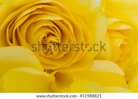 close up of yellow rose petals - stock photo