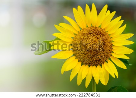 close up of  yellow sunflower - stock photo