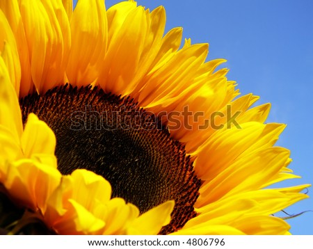 Close-up of yellow sunflower against clear blue sky - stock photo