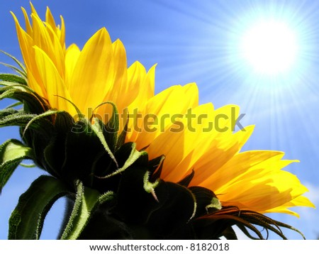 Close-up of yellow sunflower petals against blue sky