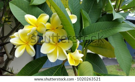 Close up of Yellow Tropical Frangipani Flowers