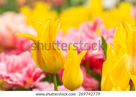 Close up of Yellow tulips in the spring garden. Shallow DOF. - stock photo