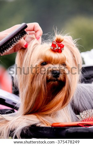 Close up of Yorkshire Terrier getting hair style done - stock photo