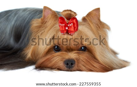 Close-up of Yorkshire Terrier's muzzle on white