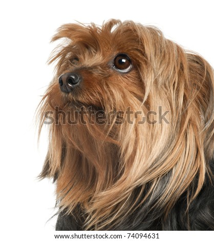 Close-up of Yorkshire Terrier, 5 years old, in front of white background - stock photo